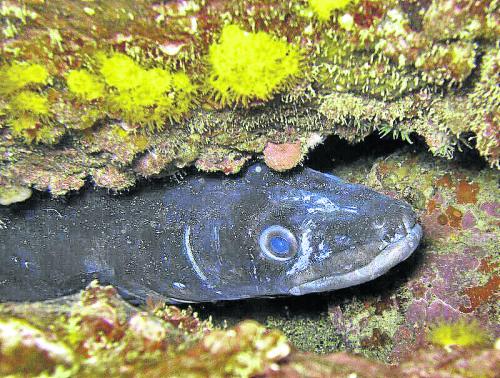 moray-eel-scuba-e1404987236134