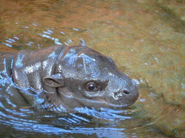 pygmi hippo